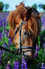 aromatherapy horse