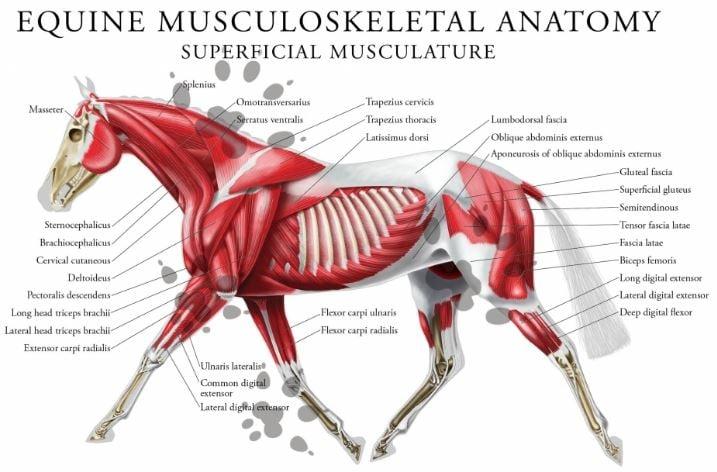 equine muscle HUMANANATOMYLIBRARY