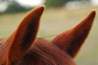 horse ears dallasequetriancenter