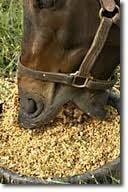 horse eating grain