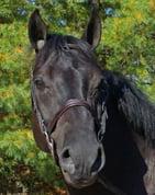 horse poms scheiderssaddlery