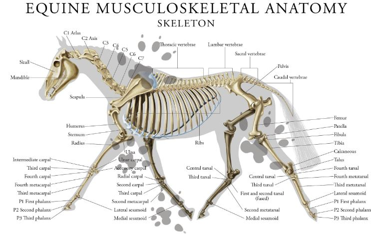 horse skeletan INKYMOUSESTUDIO