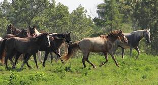 multiple horses in pasture MOUNTAINVIEWSTOCK