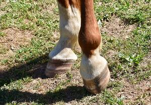 horse hooves- CEE Blog