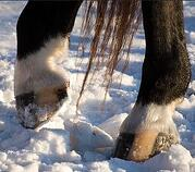 horse hoof in snow 12-11