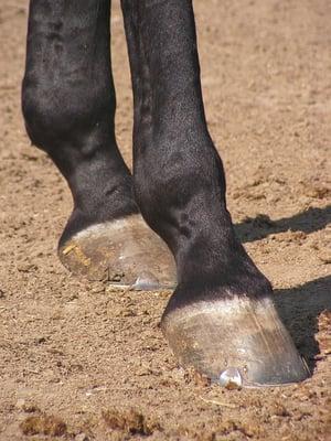 Classic Equine Blog- Abscess